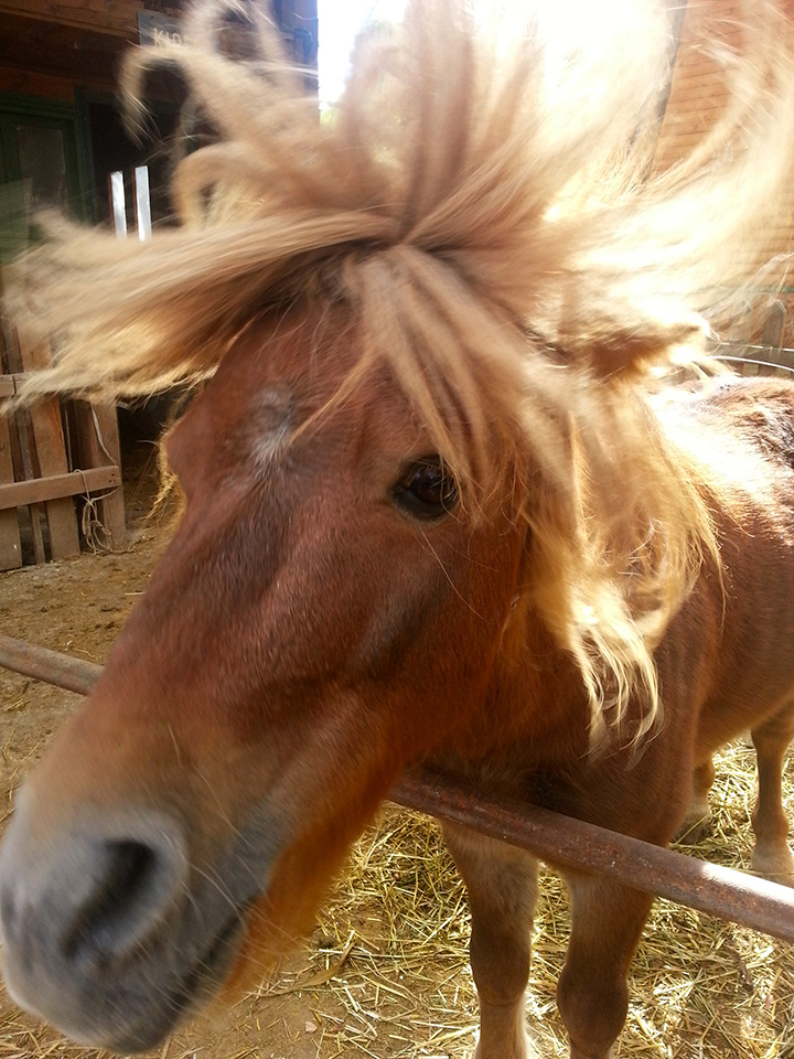 Kiper, The miniature Pony
