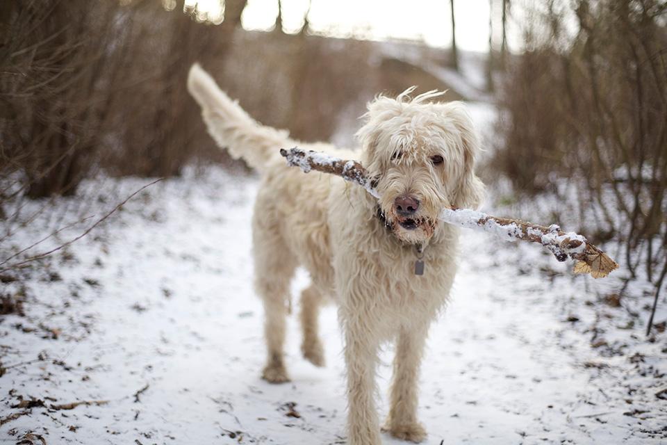 My snow dog. Manual focus Helios 58mm/f2 @ f2