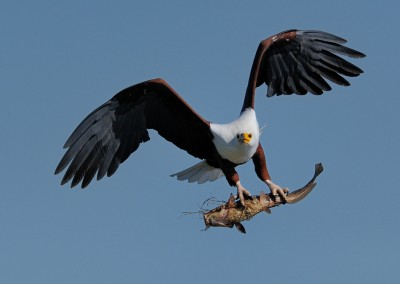 Fish Eagle with supper