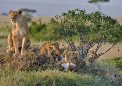 Mother lion keeping watch