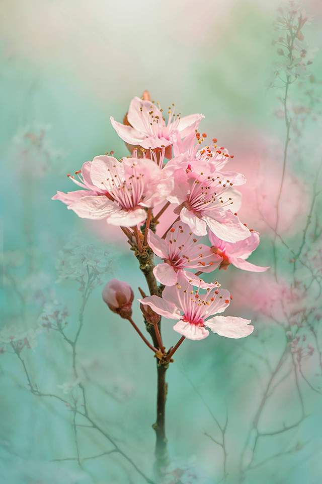 Black Cherry Plum Blossom. Image by Jacky Parker