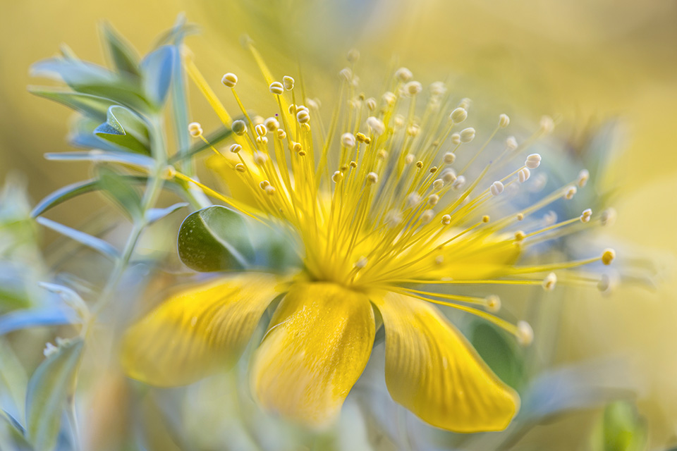 Alpine Hypericum. Image by Mandy Disher