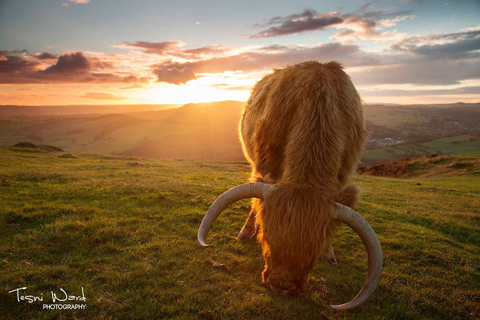 Highland cattle sunset