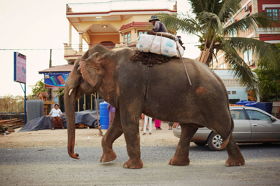 Indian elelphant carrying goods