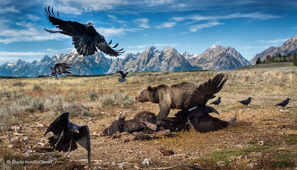 Wild West stand-off By Charlie Hamilton James, Finalist, Mammals