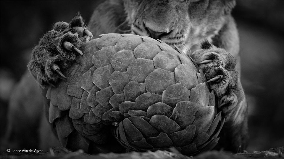 Playing pangolin By Lance van de Vyver, Finalist, Black & White