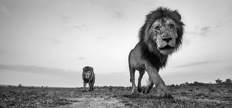 the-mara-lions