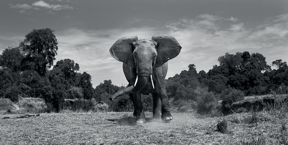 the-mara-elephant-charging