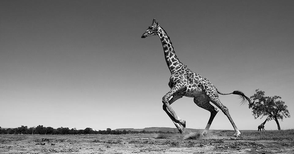 the-mara-giraffe
