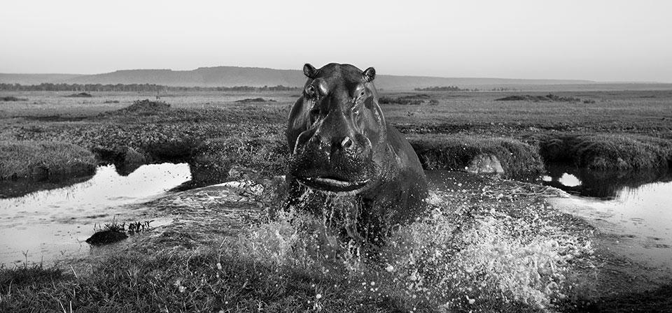 the-mara-hippo