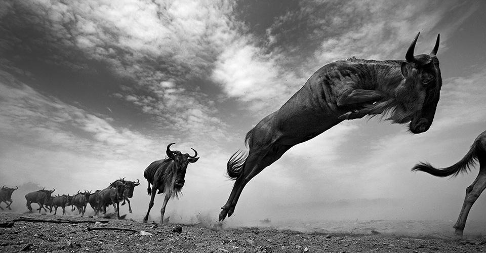 the-mara-running-wilderbeast