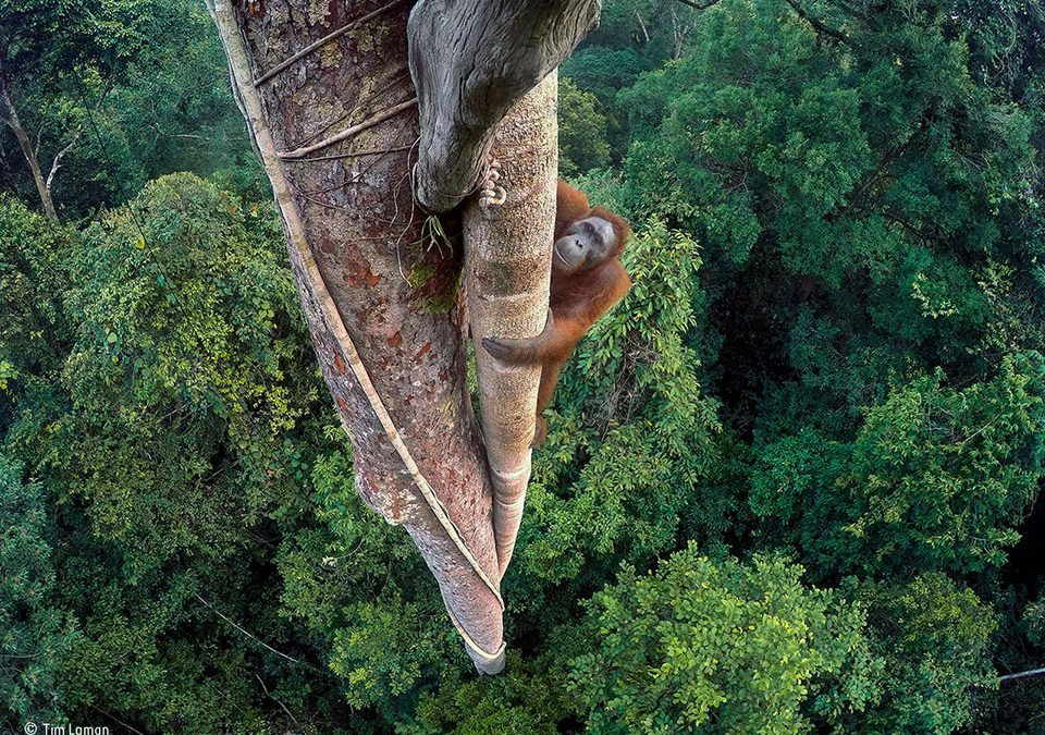 Tim Laman, Winner, Wildlife Photographer of the Year 2016
