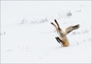 Red fox hunting © Angela Bohlke