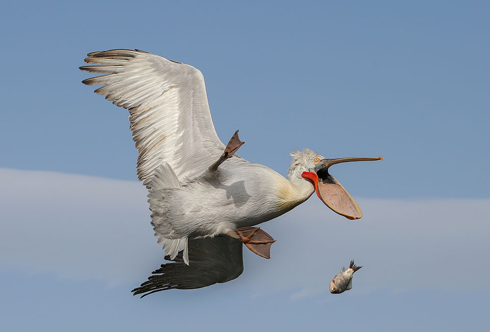 'Damn!' © Nicolas de Vaulx. WINNER The Kenya Airways Creatures in the Air Category.