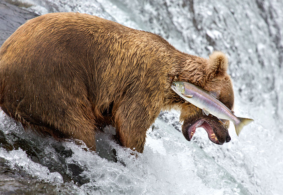 'Grizzly Bear Fail' © Rob Kroenert. Highly Commended