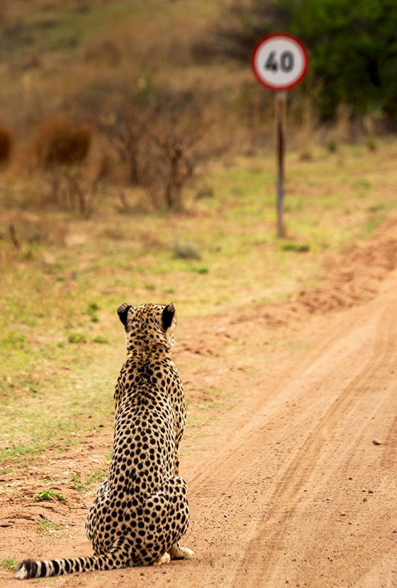 "'Cheetah pondering the speed limit... ""Well this sucks!""' © Vaughan Jessnitz. Highly Commended"