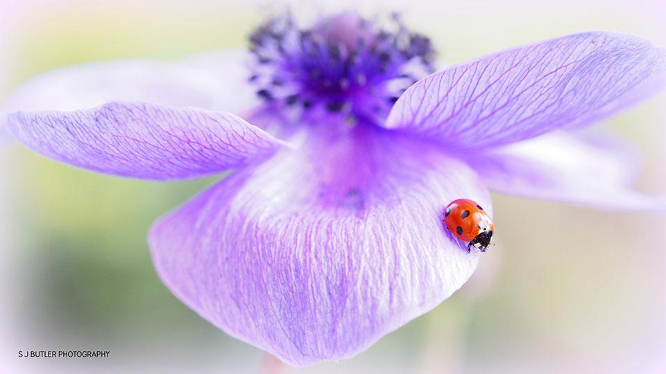 Ladybird Anemone