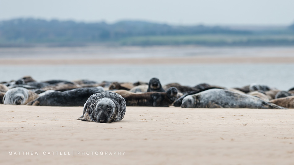 Blakeney Seals by Matthew Cattell