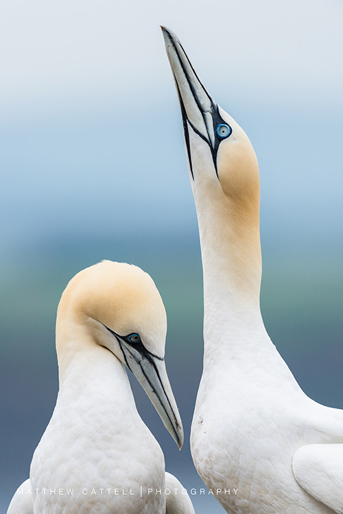 Courting Gannets by Matthew Cattell