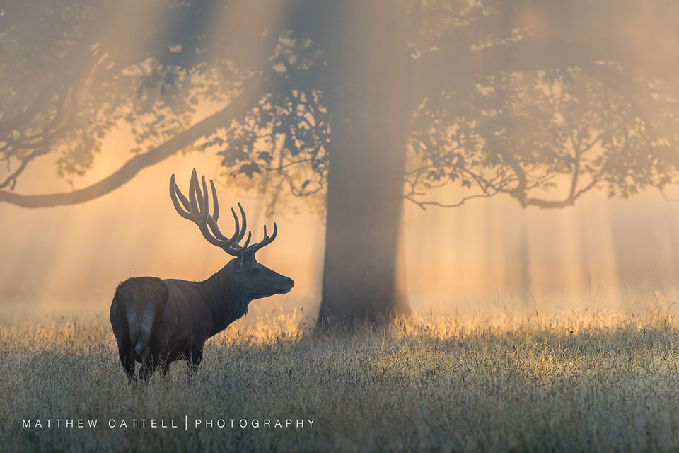 Stag Beneath Canopy by Matthew Cattell