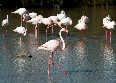 Flamingos. I'm going for a walk. Photo by Wilf James.
