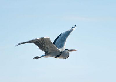 Grey Heron in flight. Photo by Wilf James.