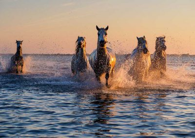 Camargue Horses. Photo by Barry Dillon