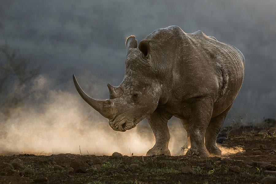 Hendri Venter Rhinoceros